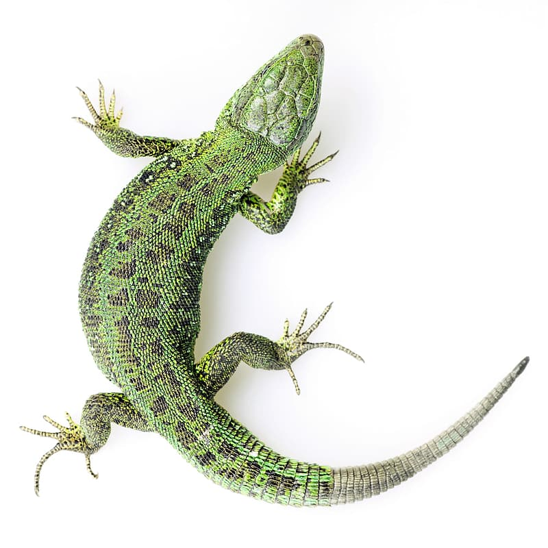 Green and white lizard on white background