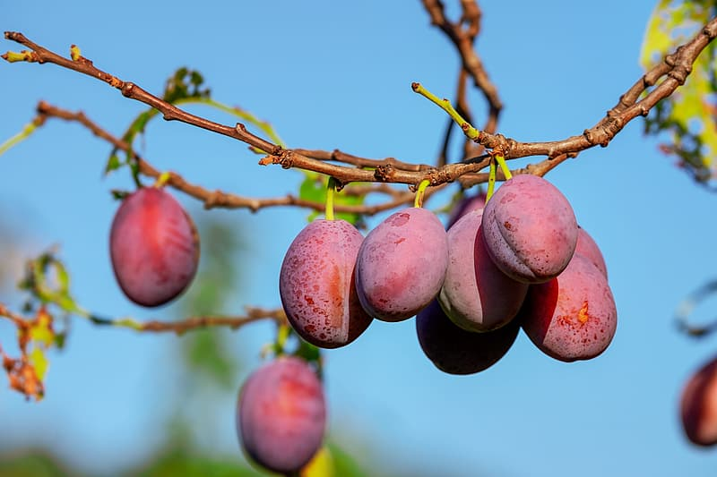 Red round fruits on brown tree branch