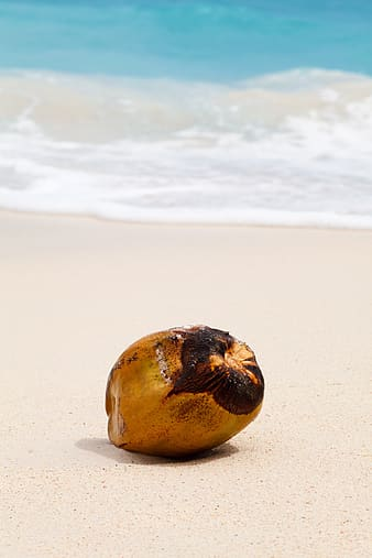 Brown coconut near beachline