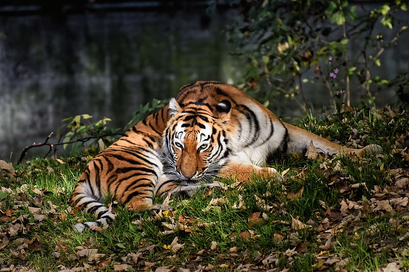 Tiger lying on green grass during daytime