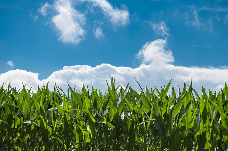 Green corn field under blue sky and white clouds during daytime