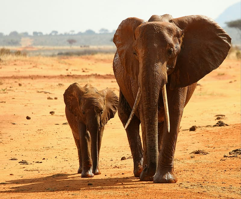Elephant with its cub on desert
