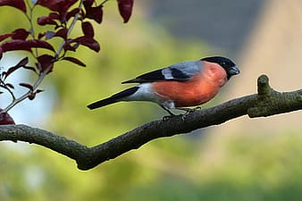 Selective focus photography of bullfinch perching on branch