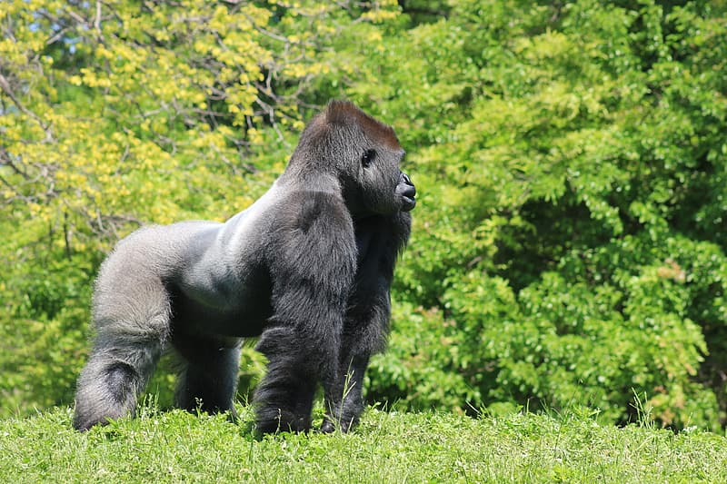Black and gray gorilla near trees at daytime