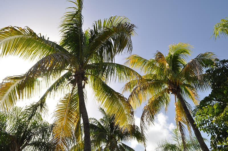 Green coconut trees under white clouds and blue sky at daytime