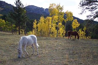 Two white and brown horses eating grasses