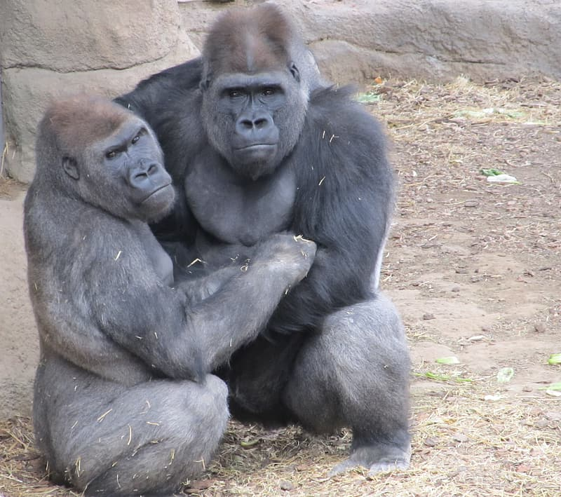 Two gorillas sitting on brown ground during daytime