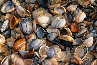 Seashell shells