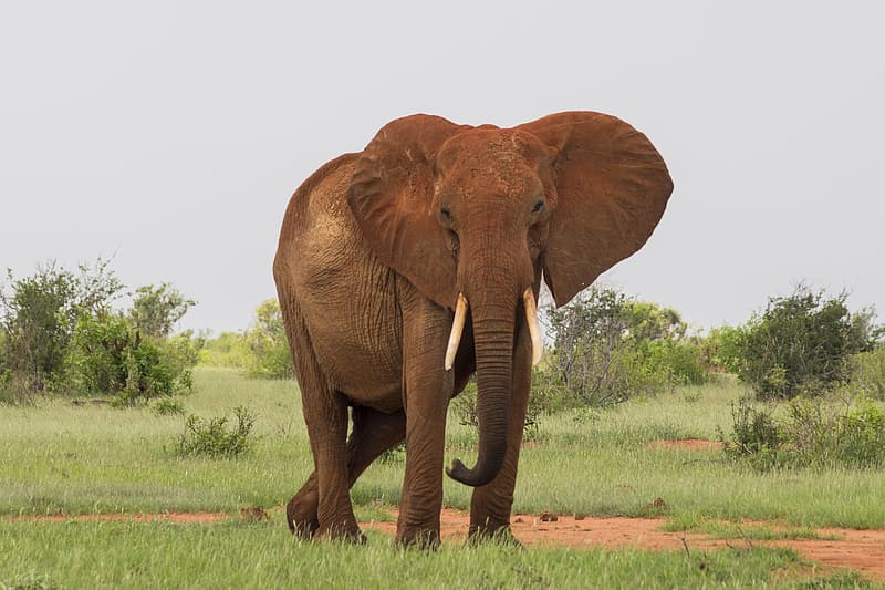 Brown elephant standing on grass field