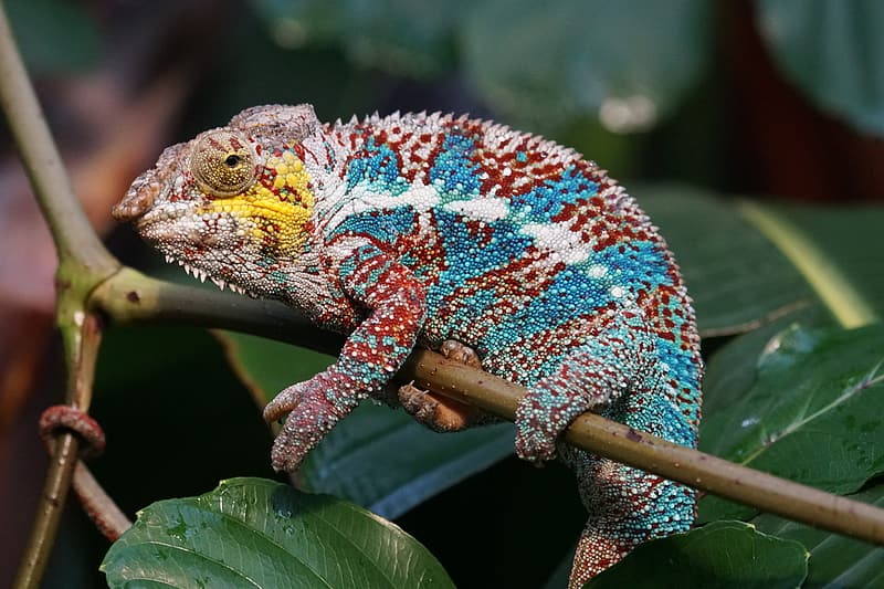 Blue, white, and red bearded dragon