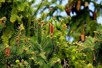 Fir tree closeup photography