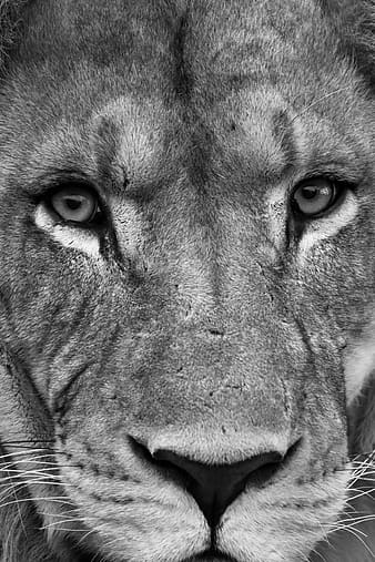Grayscale photo of lion