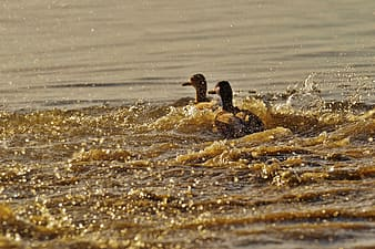 Two brown ducks on body of water