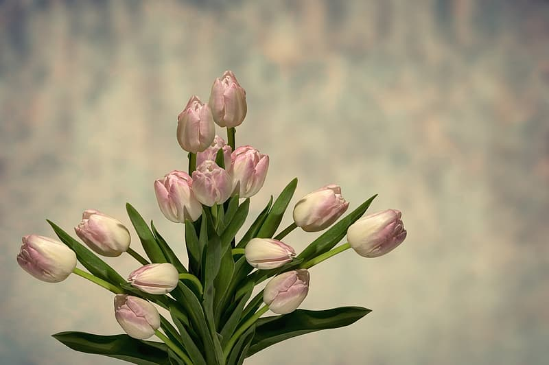 Pink-and-white tulips bouquet