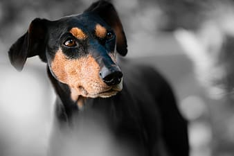 Adult black and tan Manchester terrier