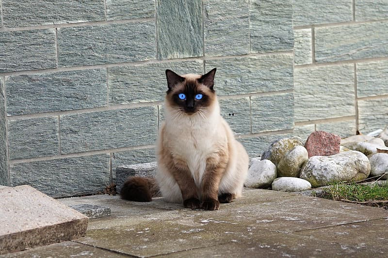 Birman cat beside concrete wall