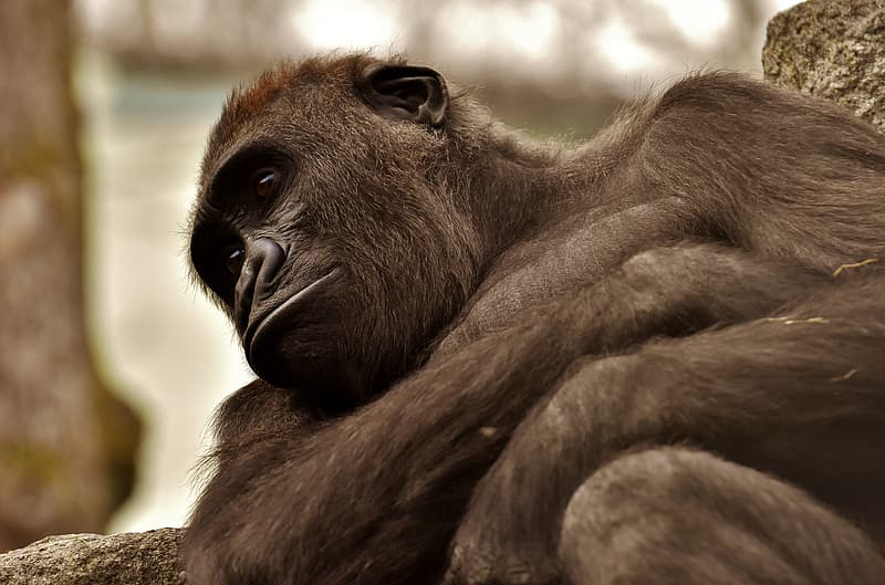 Brown ape leaning against on log