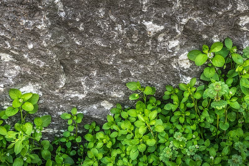 Ovate leaf plant beside gray rock formation