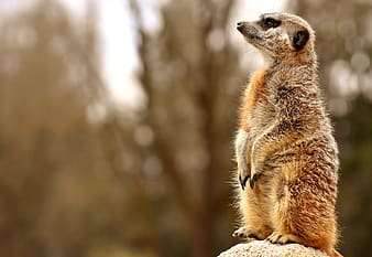 Close-up photo of meerkat standing on brown surface