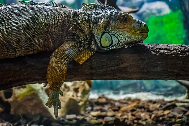 Brown and green iguana on brown wood