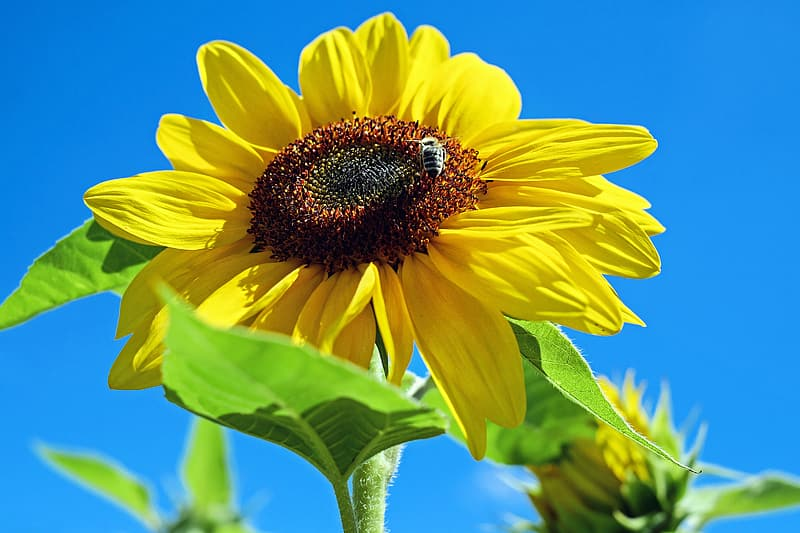Close up photography of yellow sunflower under blue sky