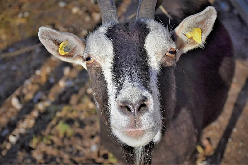 Black and white goat on brown grass field during daytime
