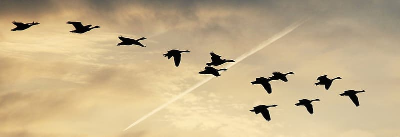 Flock of canada geese silhouette photography