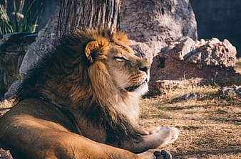 Lion sitting in front of rock formation