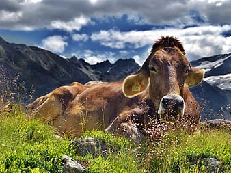 Brown cow on green grass during daytime