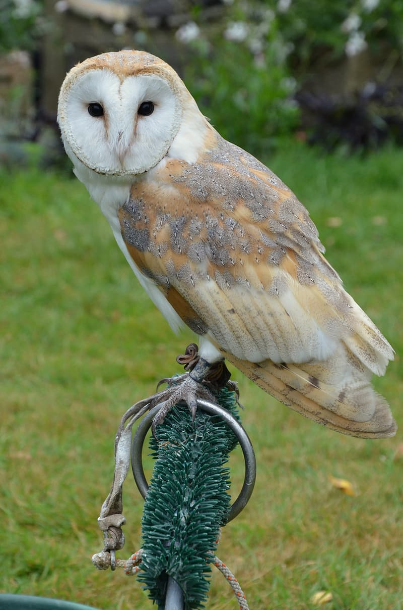 White and beige owl perching