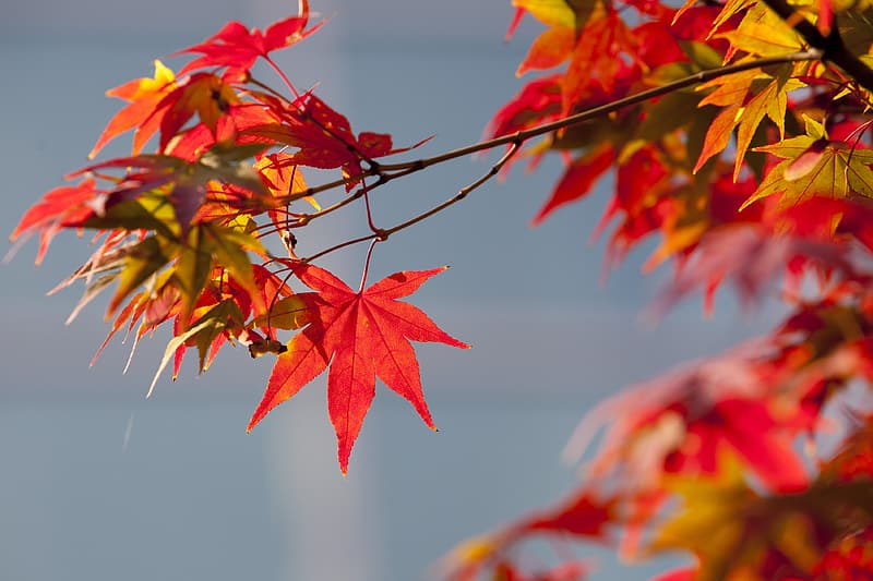 Red maple leaf in close-up photography