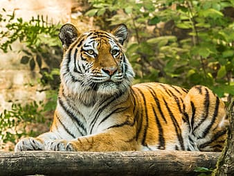 Tiger lying on brown wooden log during daytime