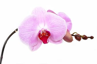 Pink moth orchid in selective focus photography