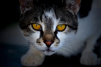 White and black cat with yellow eyes