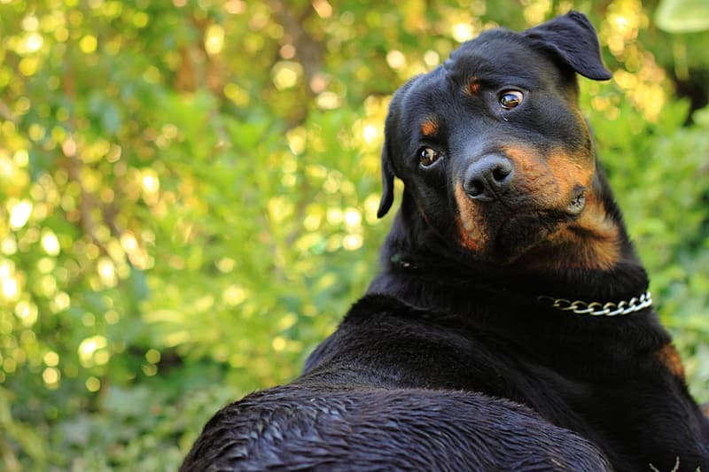 Black and tan Rottweiler close-up photo during daytime