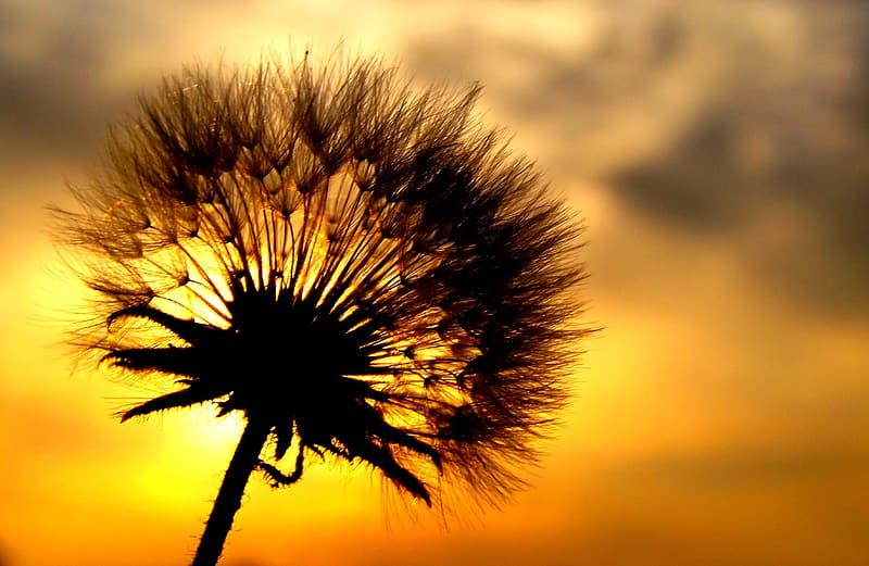 Silhouette of dandelion flower during golden hour in close-up photography