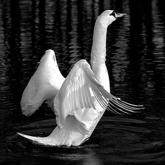 Grayscale photograph of swan flapping its wings