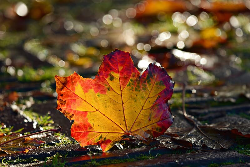 Red and green maple leaf on ground