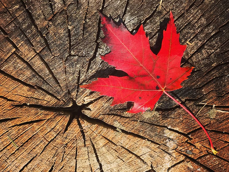 Red maple leaf on wood log