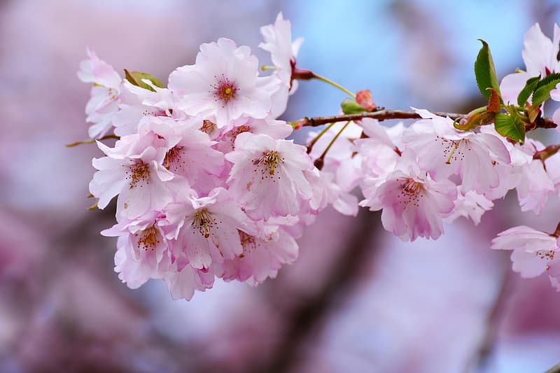 Selective focus photography pink petaled flowers