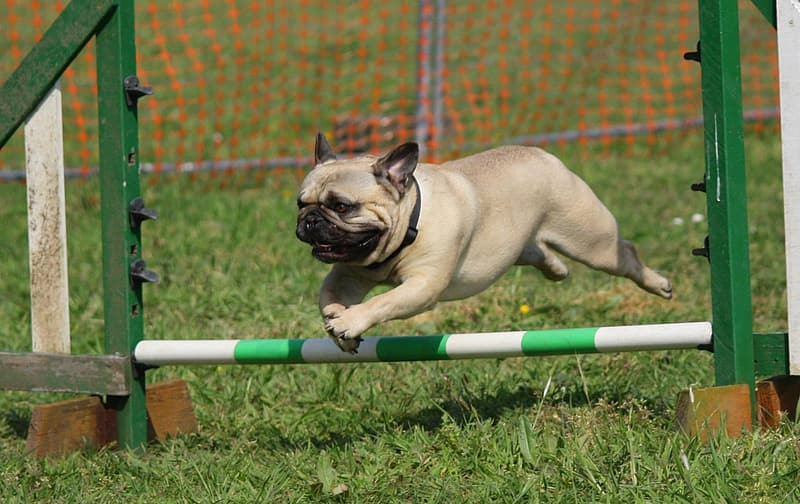 Fawn pug jumping over obstacle