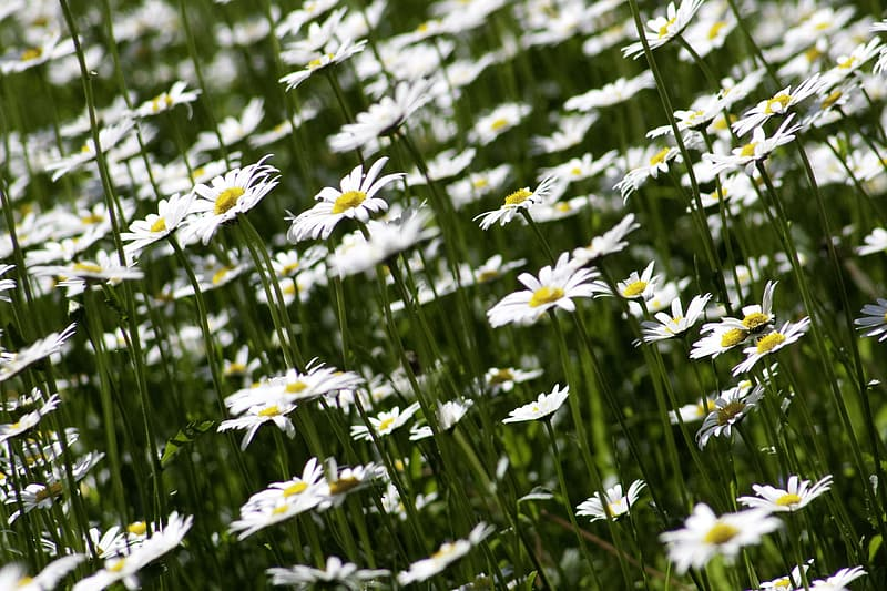 Bed of white daisy flowers