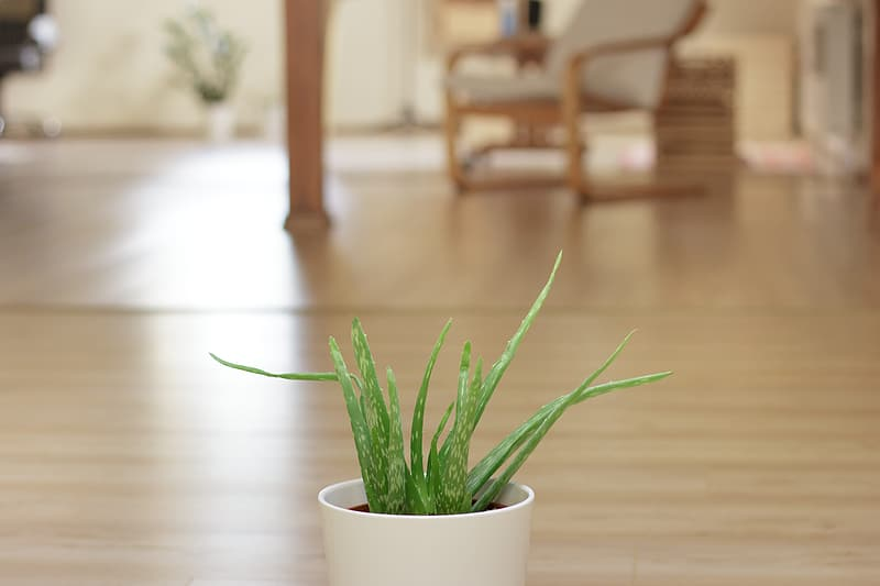 Green snake plant potted in white pot