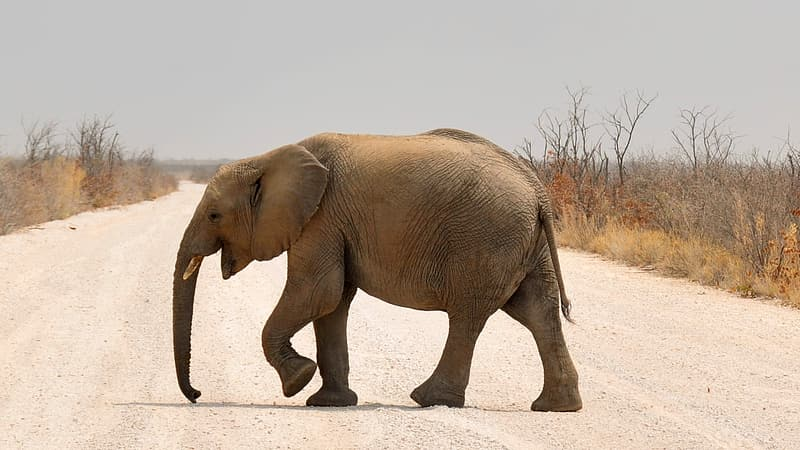 Brown elephant walking in the road