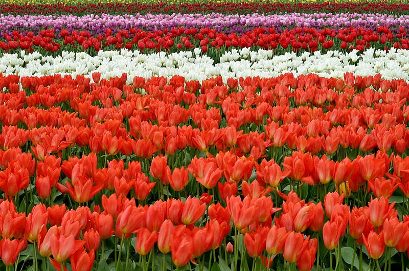 Red, white and pink tulips garden