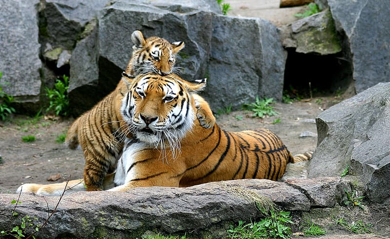 Two brown-black-white tigers