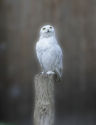 White owl on brown trunk
