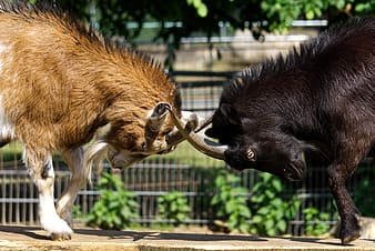 Two animals cross horns