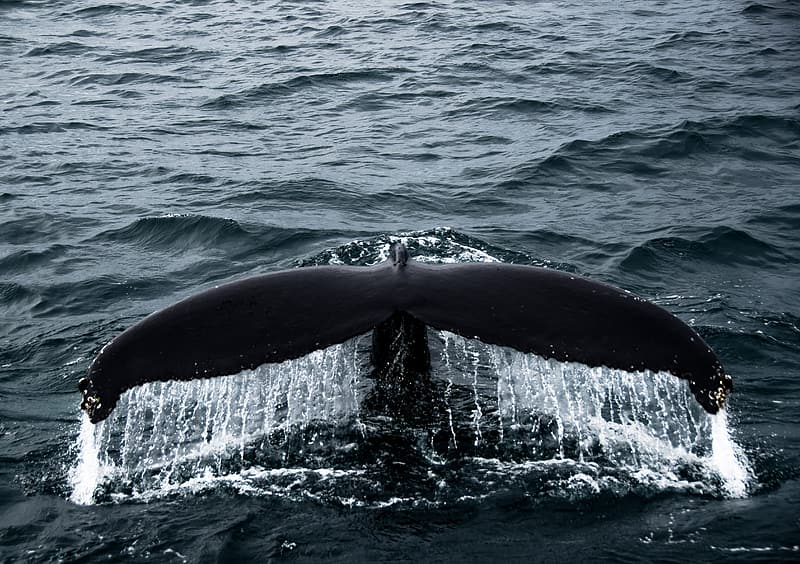 Black whale tail on body of water during daytime