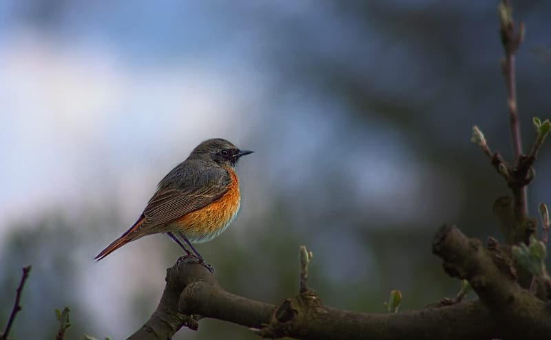 Focus photography of orange and gray robin bird